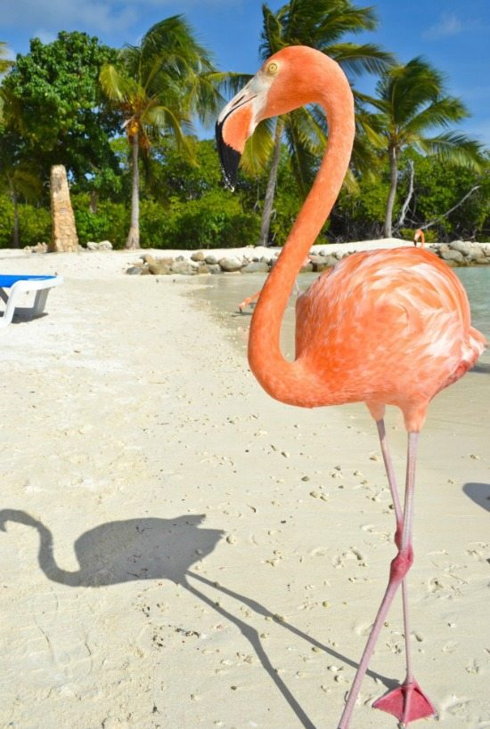 Flamingos on Beach in Aruba